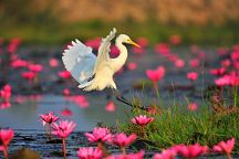Lotus Blossom Returns to Udon Thani
